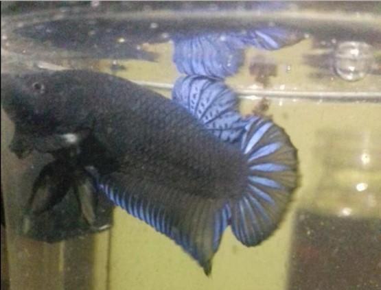 Ikan Hias Petarung Milik Okky