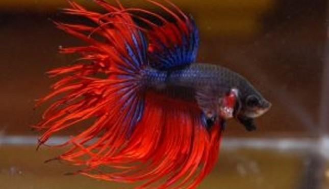 Menghasilkan Ikan Cupang Yang Berkualitas