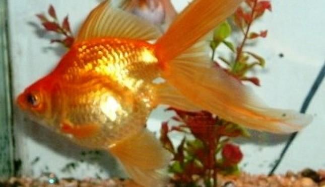 Tips Menangani Ikan Hias Yang Baru Dibeli
