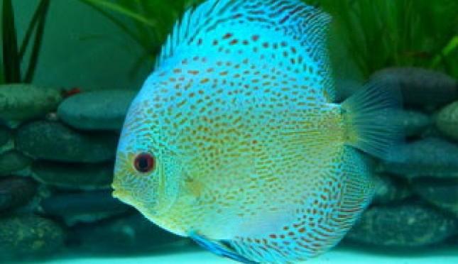 Tips Merawat Ikan Discus Agar Tetap Sehat