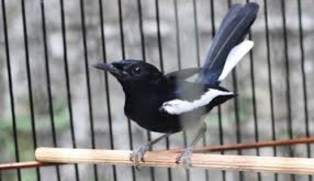 Ternak Burung Kacer Bagi Pemula