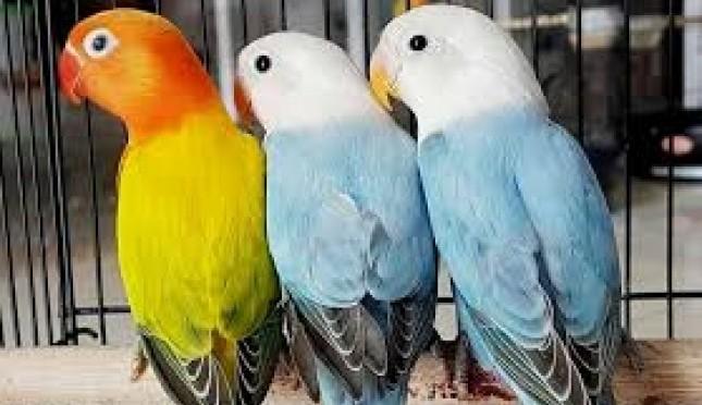 Merawat Burung Lovebird Untuk Pemula