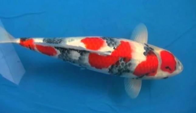 Memeihara Ikan Koi Lambang Kekayaan Dan Kemakmuran