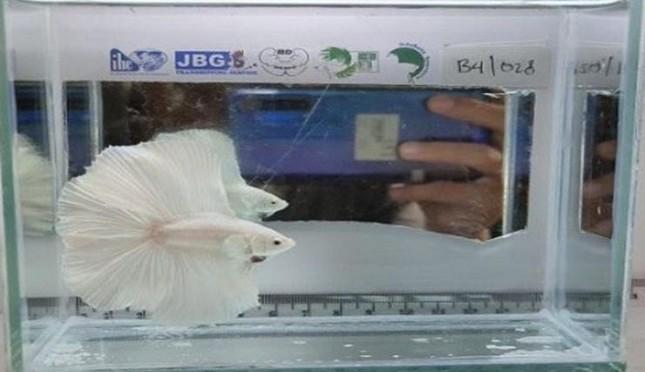 Inovasi Di Saat Pandemi Kontes Ikan Cupang Virtual